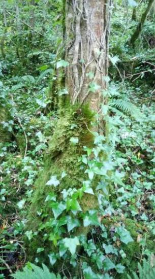 irish_forest1