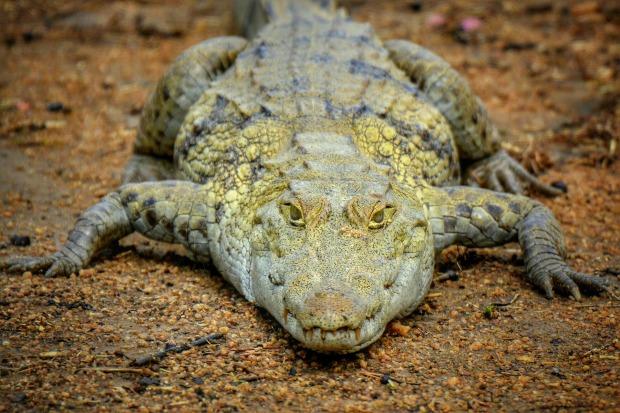 crocodile-1818525_1920